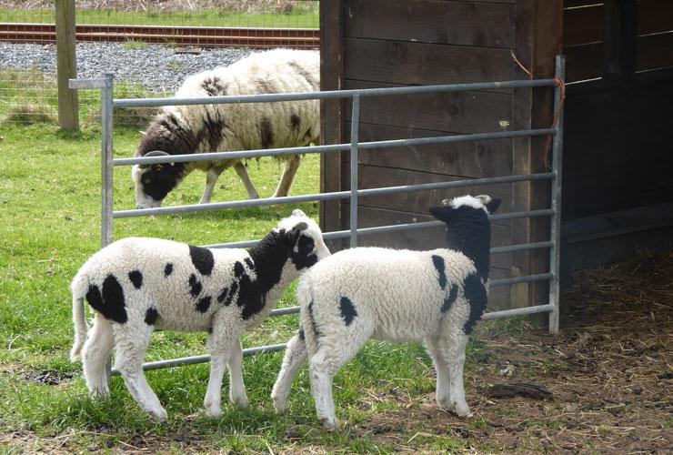 Margam Sheep
