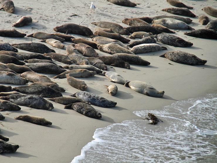 La Jolla Seals And Sea Lions