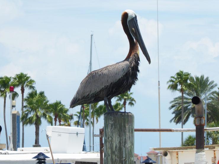 A Florida Pelican
