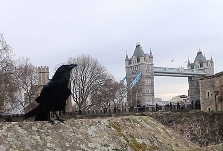 A Tower Raven